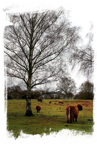 Highland cattle on the common, Hothfield, January 2012 ©vcsinden2012