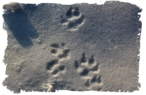 Snow footprints - fox