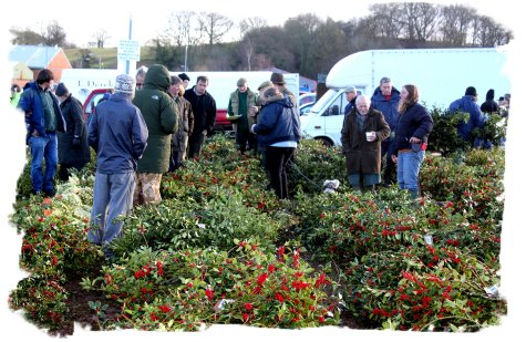 Bright Holly at the Tenbury Auctions ©vcsinden2011