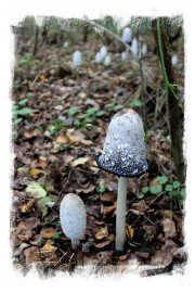 Ink cap - a huge clump growing in Hurst Wood, Charing ©vcsinden2012