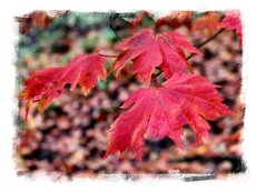 Field maple - scarlet levaes in October ©vcsinden2012