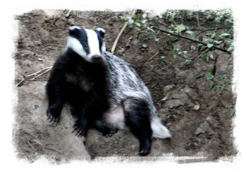Badger beside set ©vcsinden2013