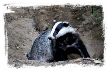 Woodland badger beside set ©vcsinden2013