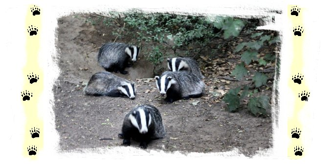 Woodland badgers ©vcsinden2013