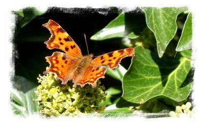 Comma feeding on the pollen of ivy flowers in early October ©vcsinden2012