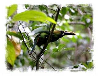 Costa Ric's forest  birds - an Emerald Toucanet ©vcsinden2013