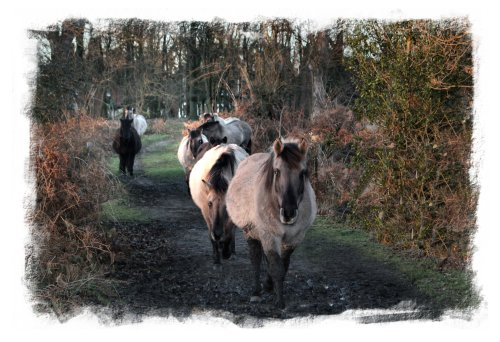 Wild ponies on the common at Hothfield, Kent on New Year's Day ©vcsinden2013