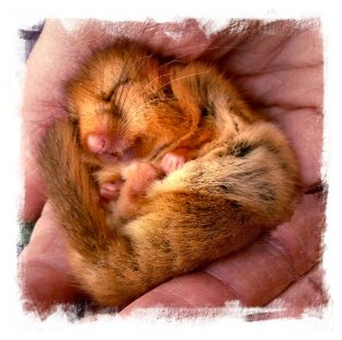 Sleeping dormouse ©vcsinden 2013