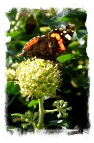Red admiral gorging on the nectar of the ivy flowers in early October ©vcsinden2012