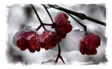 Spindle berries in fresh snow ©vcsinden2013