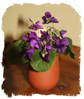 Wild violets in January ©vcsinden2014