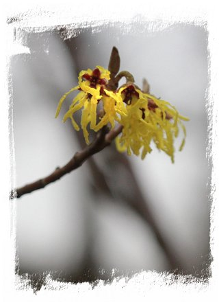 Witch hazel scenting the February air ©vcsinden2017