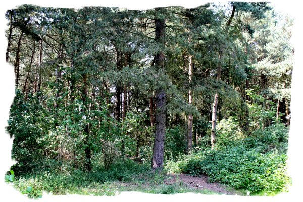 Hurst Wood - Into the Pines in Spring