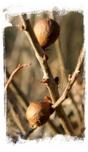 Oak Apples ©vcsinden2012