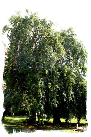 Weeping Ash - Headcorn, Kent