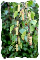 Male birch cones