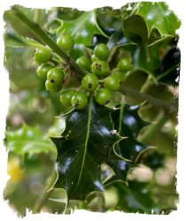 Green holly berries