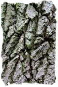 Oak bark - mature tree ©vcsinden2011