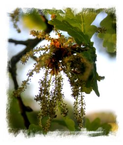 Oak flowers in May ©vcsinden2013