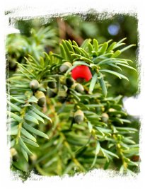 A sprig of yew in October ©vcsinden2012