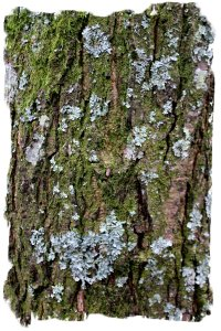 Alder bark with lichen