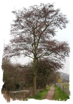 Alder in winter, Hythe canal, Kent