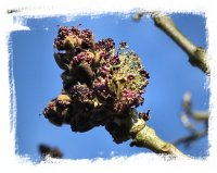 Ash flowers in Spring ©vcsinden2012