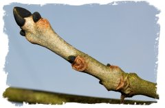 Ash twig with black buds in winter©vcsinden