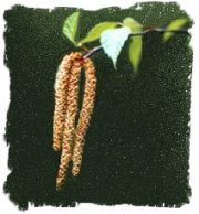 Female birch catkins