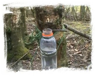 Birch sap tapping, from video