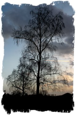 Birch against stormy skies ©vcsinden2011