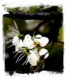 Blackthorn blossom - tiny stars ©vcsinden2011