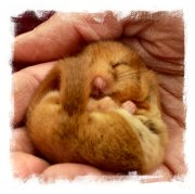 Hazel dormouse in a Charing wood during, Kent - still hibernating  in early spring ©vcsinden2011