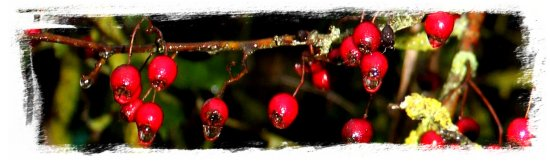 Hawthorn berries in November rain©vcsinden