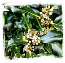 Holly in flower, mid May ©vcsinden