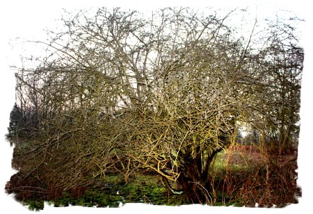 Gnarled Hawthorn tree in winter - Hothfield Common Jan 2011