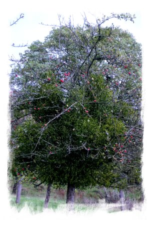 Herefordshire mistletoe in an old apple orchard ©vcsinden2014
