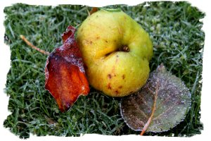 Apple in the Frost ©vcsinden2010