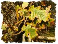 Autumn oak leaves - Ogham Duir