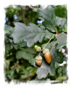 English oak - acorns ©vcsinden2013