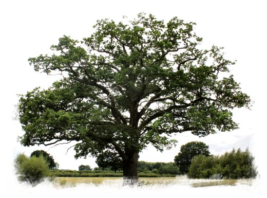 Engkish Oak in Summer, Charing, Kent ©vcsinden2013