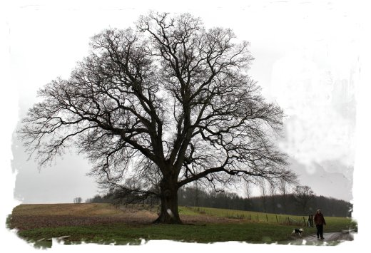 English oak in winter, Charing, Kent ©vcsinden2013