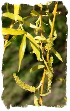 Weeping willow catkins