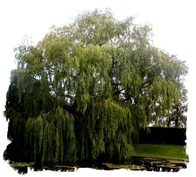 The Ogham Trees Willow Saille
