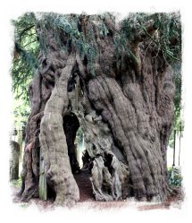 The oldest yew - Crowhurst ©vcsinden2012