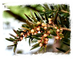yew flowers, female, in February ©vcsinden2013