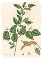 Vintage botanical print showing Birch