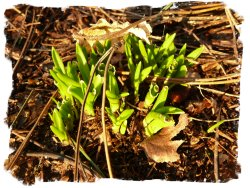 Bluebell shoots emerging for Spring in Hurst Wood, Charing, Kent