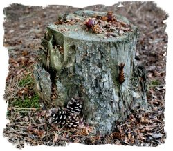 Tree stump used as a table by squirrels stripping their pine cones ©vcsinden 2012