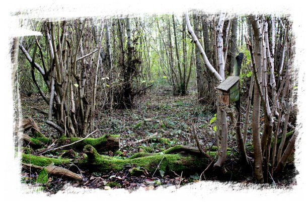 Charing, kent - Hurst Wood in winter with a dormouse box far back in the hazels and off the paths ©vcsinden2011